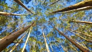 Eukalyptus wächst bis zu 7m in Jahr.
