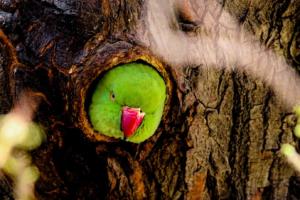 Papagai in Paraguay im Urwald